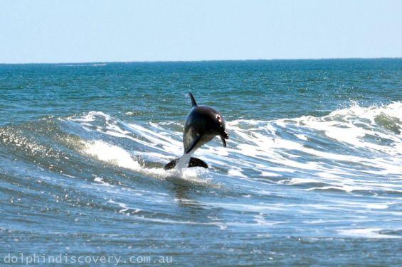 Leaping Dolphin Bunbury